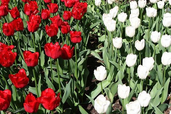 Tulips2006_0029