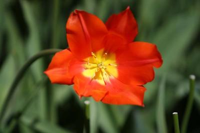 Tulips2006_0011