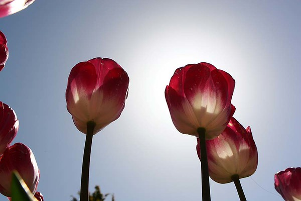 Tulips2006_0033