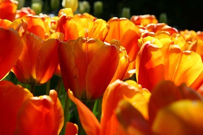 Tulips2006_0026