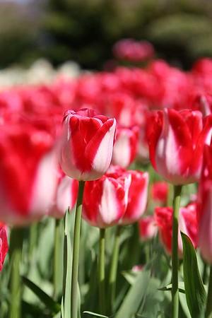 Tulips2006_0017