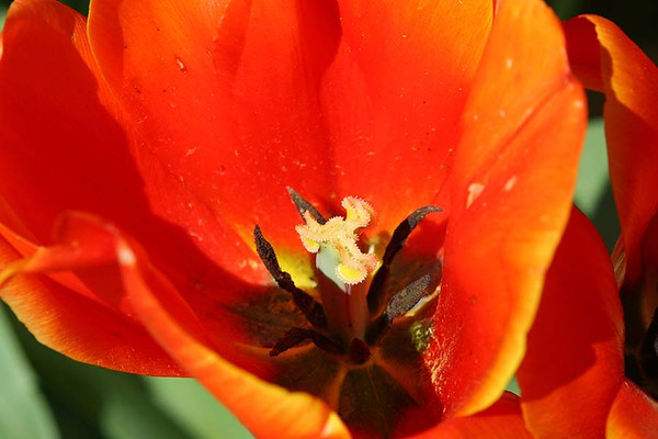 Tulips2006_0022