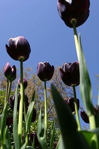Tulips2006_0037