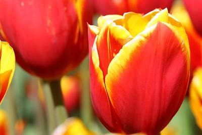Tulips2006_0006
