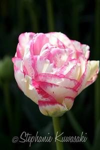 Tulips0411(edit)_0003