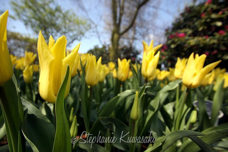 Tulips0411(edit)_0026