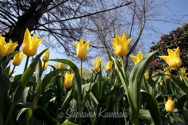 Tulips0411(edit)_0024