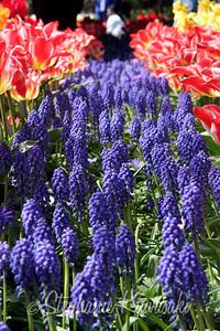 Tulips0411(edit)_0009