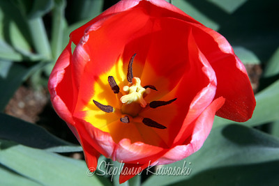 Tulips0411(edit)_0014