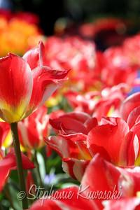 Tulips0411(edit)_0010