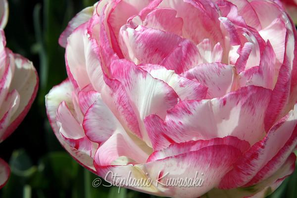 Tulips0411(edit)_0001