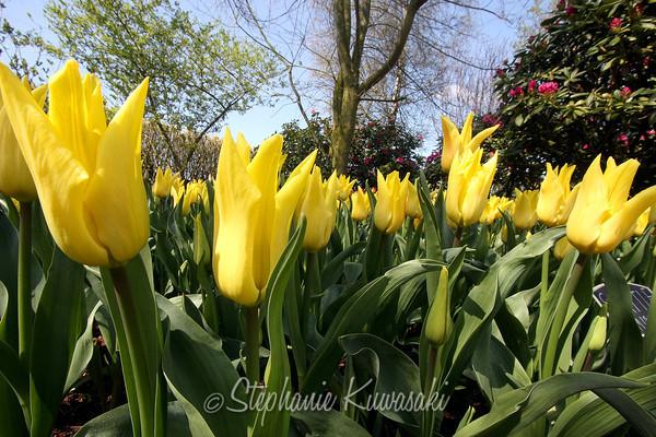 Tulips0411(edit)_0025