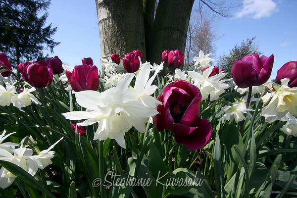 Tulips0411(edit)_0018
