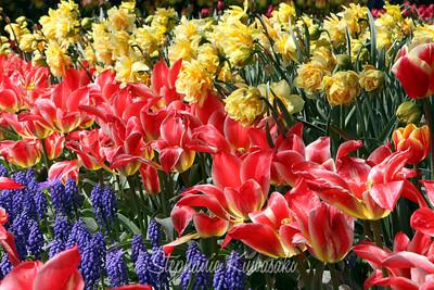 Tulips0411(edit)_0012