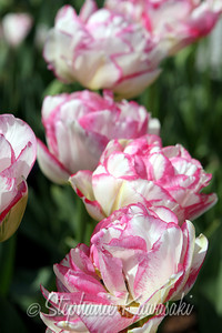 Tulips0411(edit)_0002