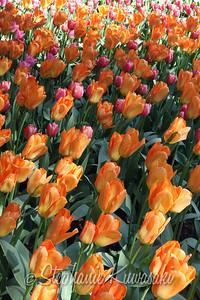 Tulips0412(edit)_0032