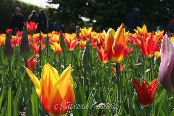 Tulips0412(edit)_0004