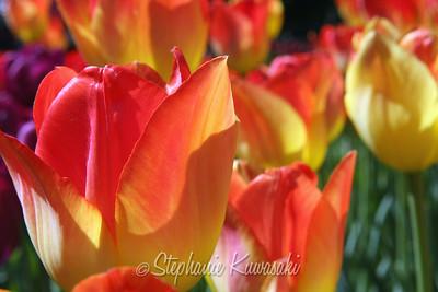Tulips0412(edit)_0017