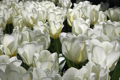Tulips0412(edit)_0030
