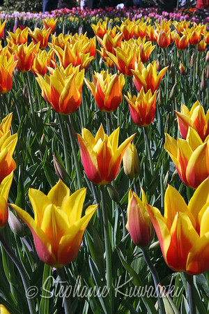 Tulips0412(edit)_0009
