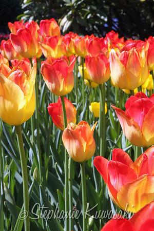 Tulips0412(edit)_0015