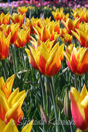 Tulips0412(edit)_0008