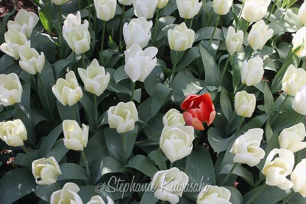Tulips0412(edit)_0029