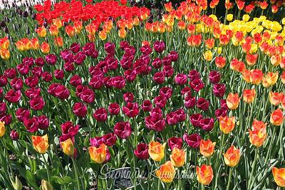 Tulips0412(edit)_0013