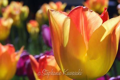 Tulips0412(edit)_0018