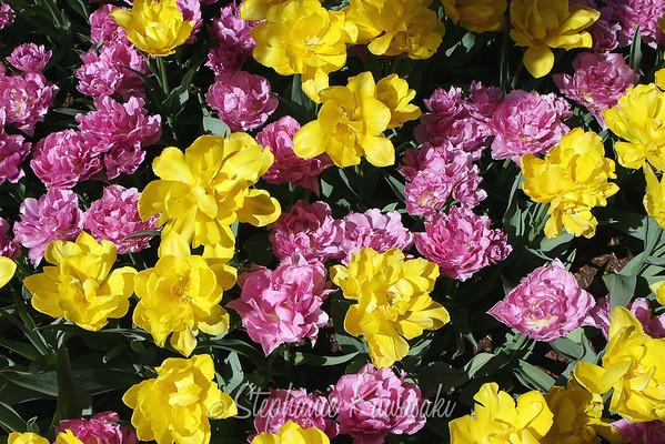 Tulips0412(edit)_0022