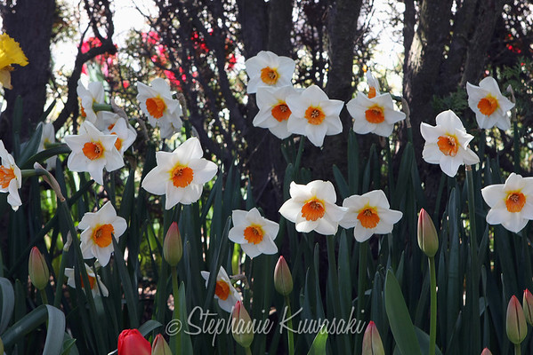 Tulips0412(edit)_0028