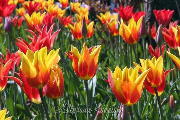 Tulips0412(edit)_0007