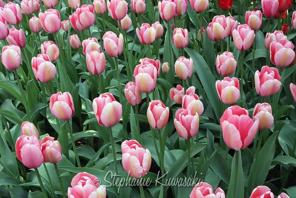 Tulips0412(edit)_0037