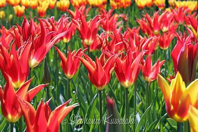 Tulips0412(edit)_0006