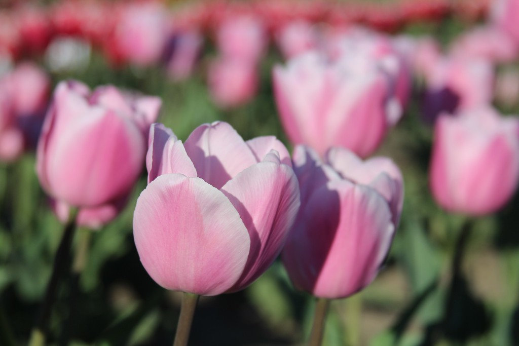 Tulips by Jodi Tripp_7