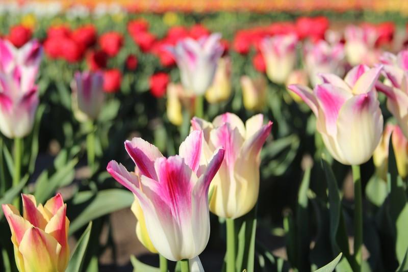 TulipsbyJodiTrippTulips by Jodi Tripp_30