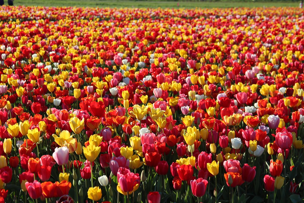 Tulips by Jodi Tripp_5