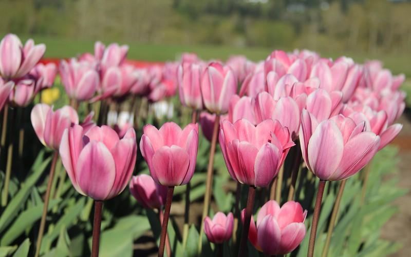 TulipsbyJodiTrippTulips by Jodi Tripp_31