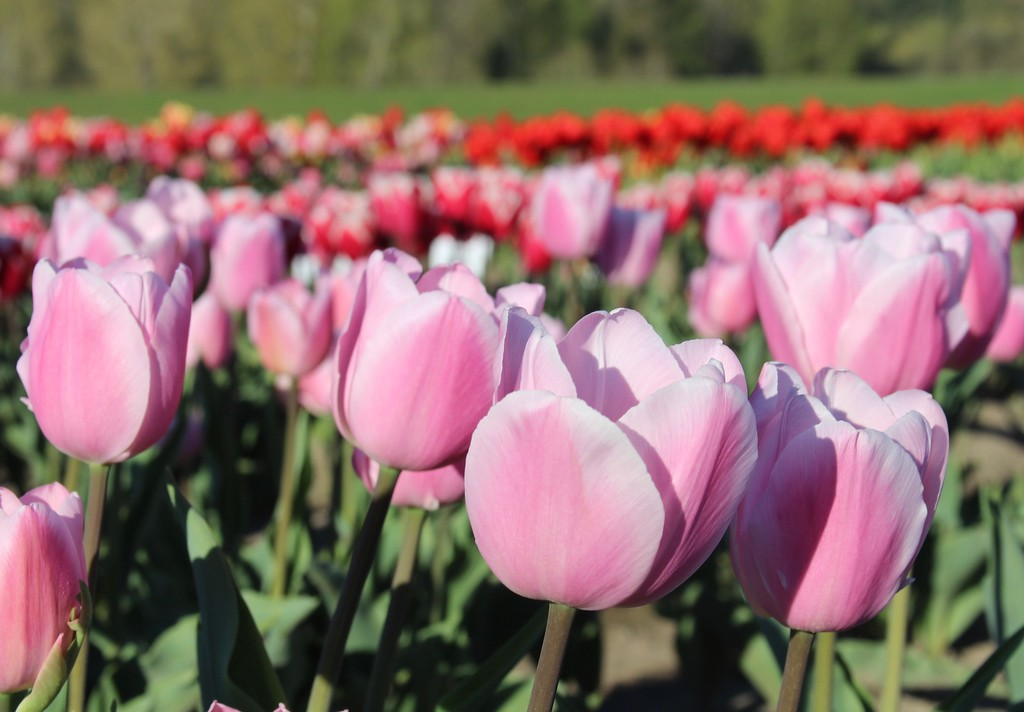Tulips by Jodi Tripp_39