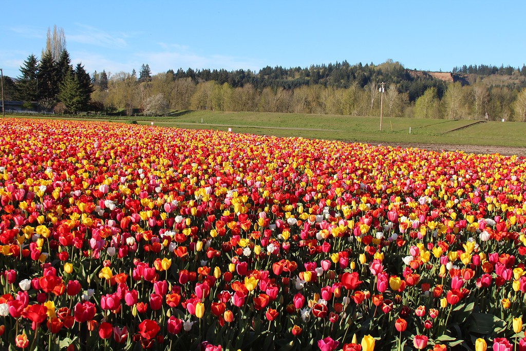 Tulips by Jodi Tripp_17