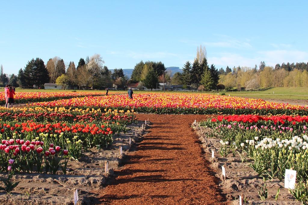 Tulips by Jodi Tripp_15