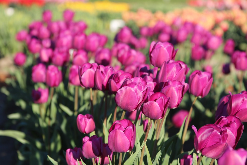 Tulips by Jodi Tripp_6