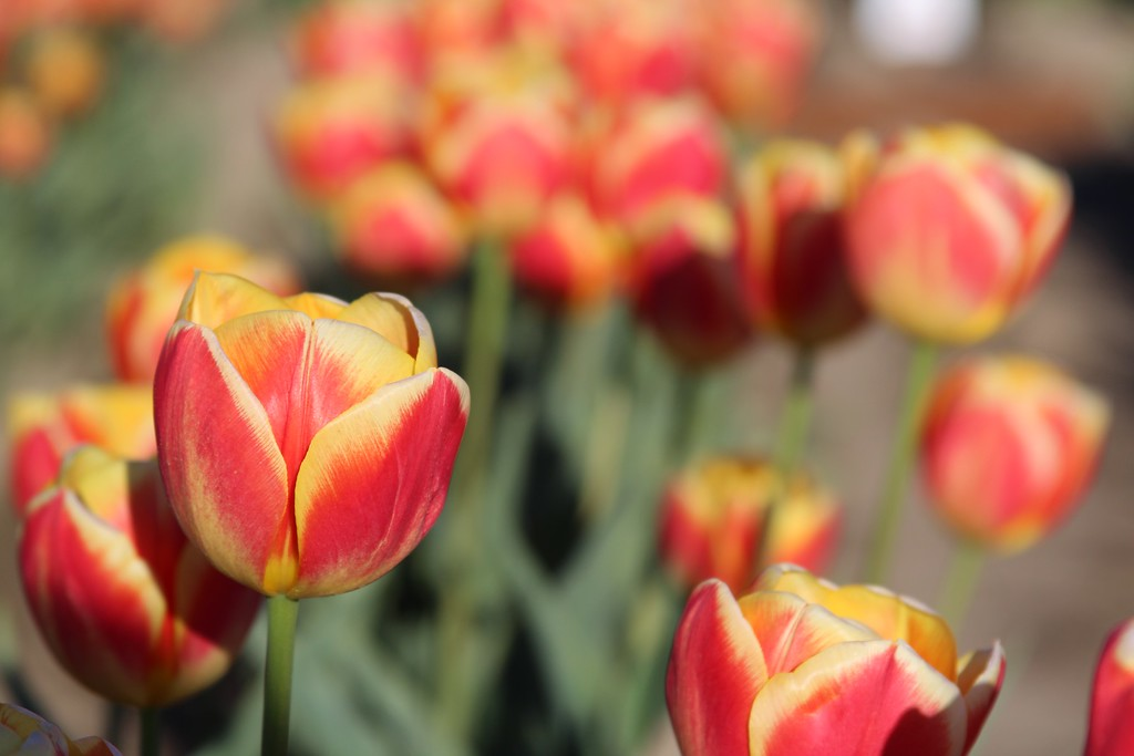 Tulips by Jodi Tripp_37