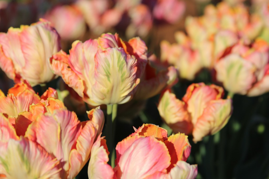 Tulips by Jodi Tripp_29