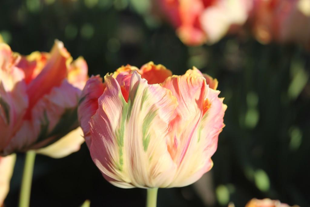 Tulips by Jodi Tripp_13