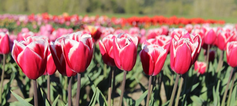 Tulips by Jodi Tripp_22