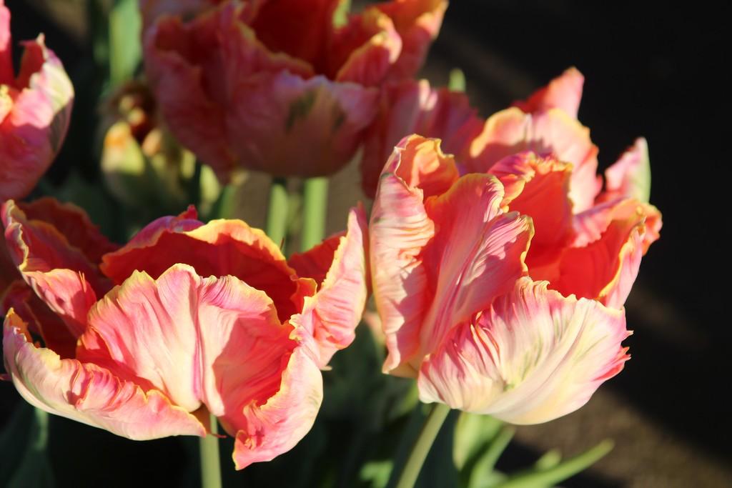 Tulips by Jodi Tripp_9