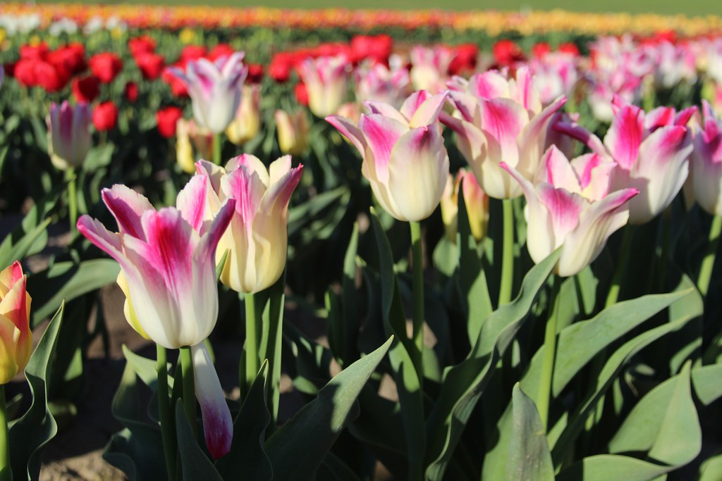 Tulips by Jodi Tripp_23