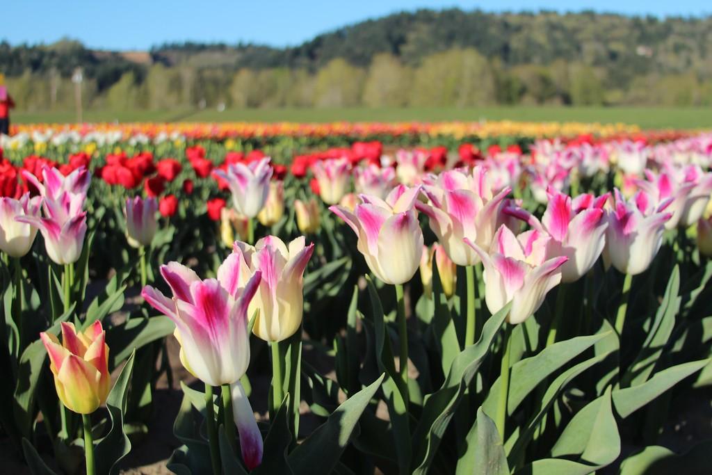 Tulips by Jodi Tripp_25