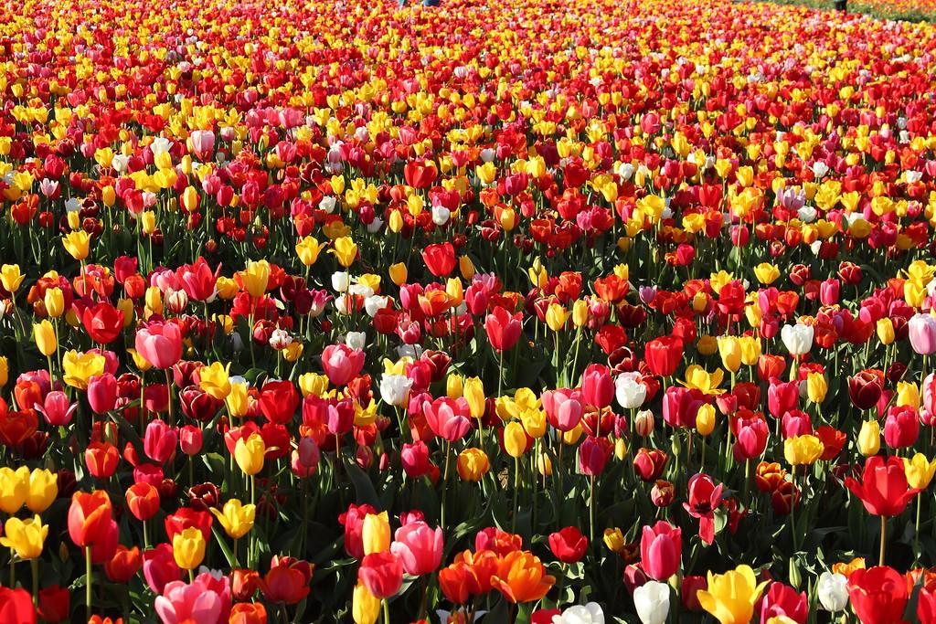 Tulips by Jodi Tripp_20